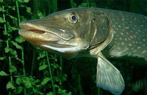 Все для рыбалки - Рыболовные истории - Щука на малька
